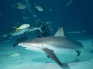 3 Things You Should Do If You See a Shark While Scuba Diving