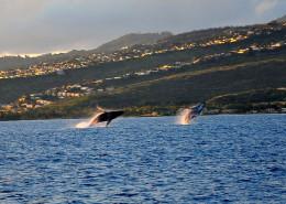 double humpback whale breach