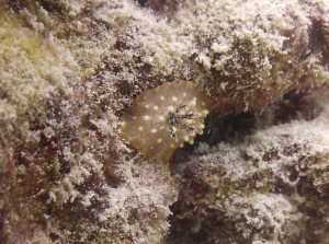Goldlace Nudibranch