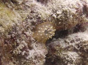 Goldlace Nudibranch