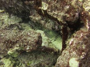 Yellow margin eel