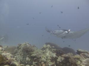manta at German channel palau